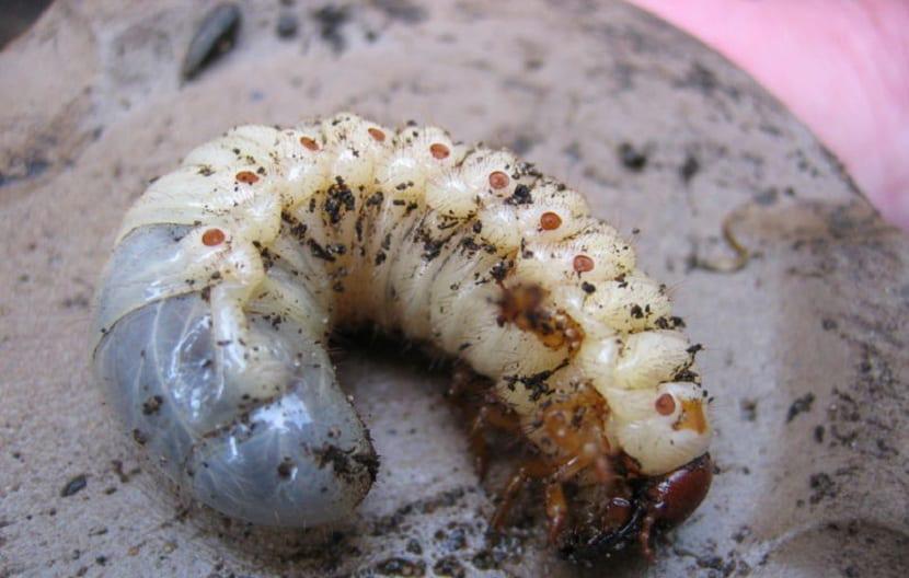 soñar con gusanos blancos